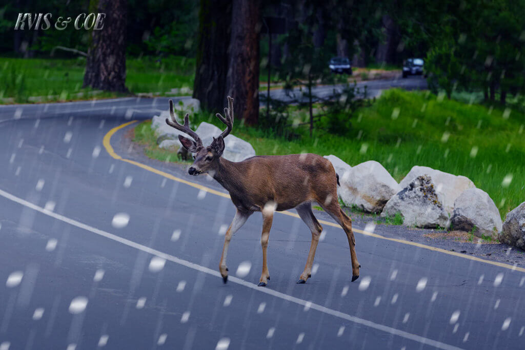 Car Insurance For Deer Collision In Pennsylvania – KVIS & Coe